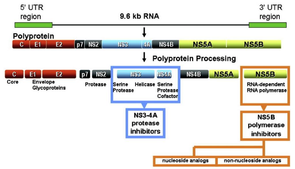 Estructura del Virus C