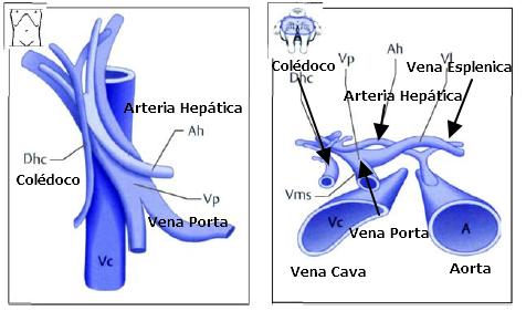 Porta Hepatis